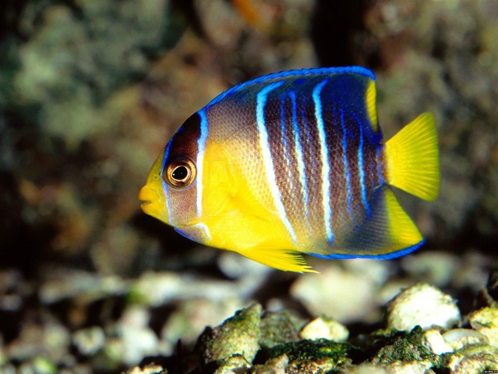 Colorful tropical fish wallpaper albums 20 1024x768 for Colorful tropical fish