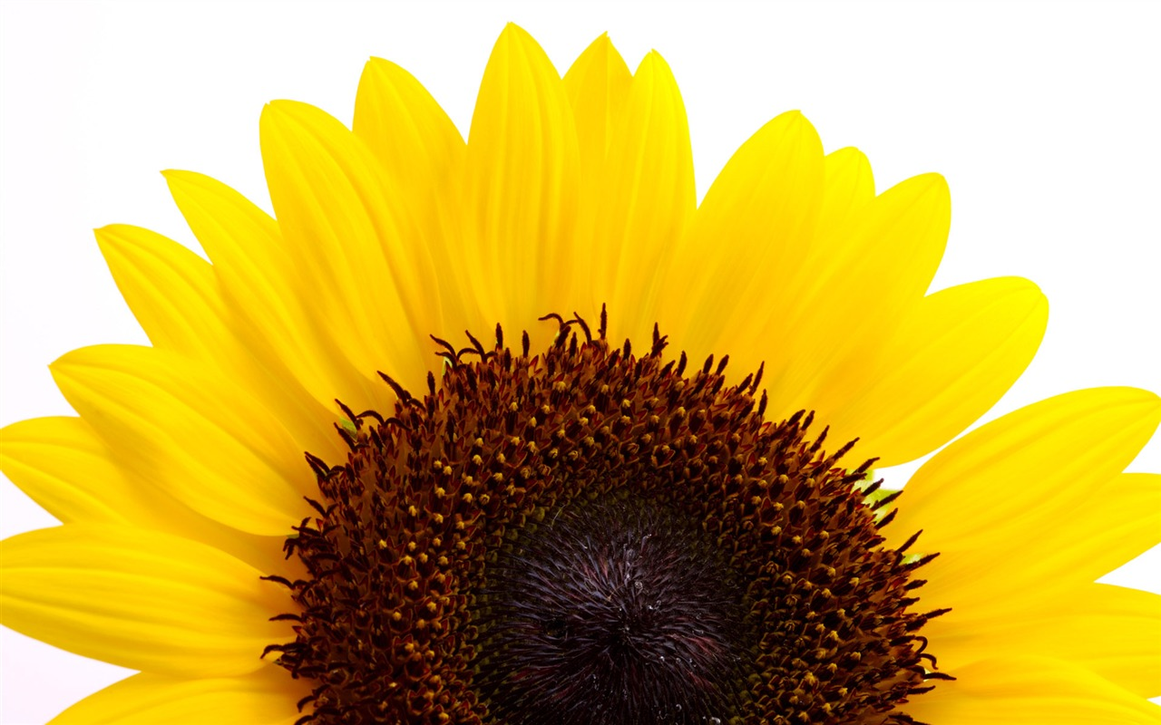Sunny sunflower photo HD Wallpapers #18 - 1280x800 Wallpaper Download ...