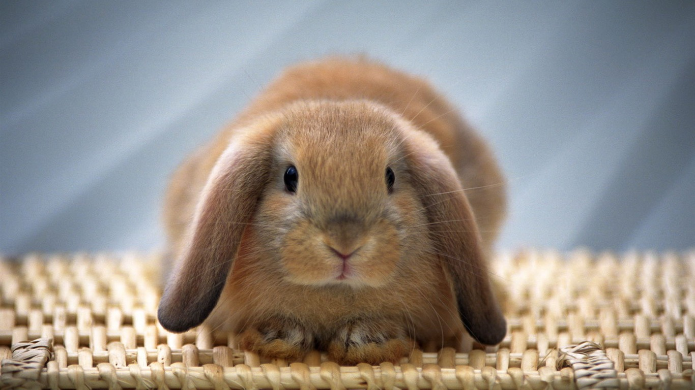 Cute little bunny wallpaper #28 - 1366x768