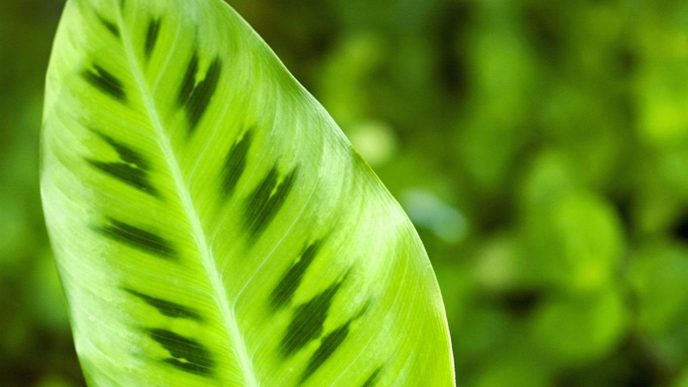Plantas fondos de color verde hoja 1 1366x768 fondos de - Plantas de hojas verdes ...