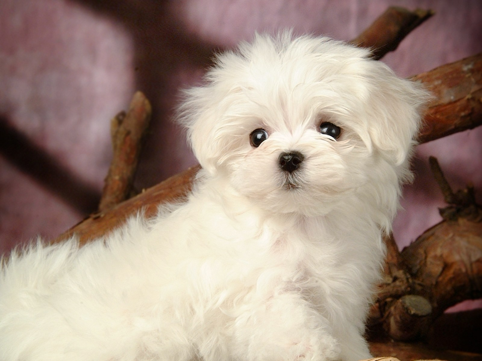 fluffy miniature dogs - photo #7