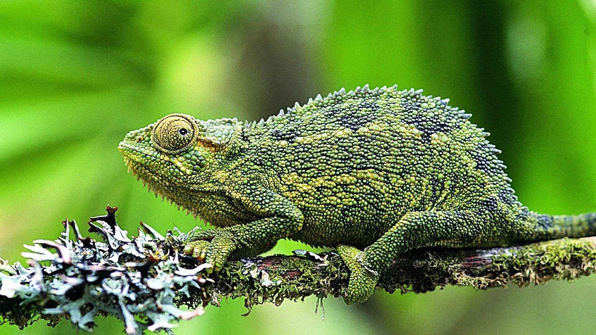HD lizard wallpaper albums 6 1920x1080 Wallpaper Download HD