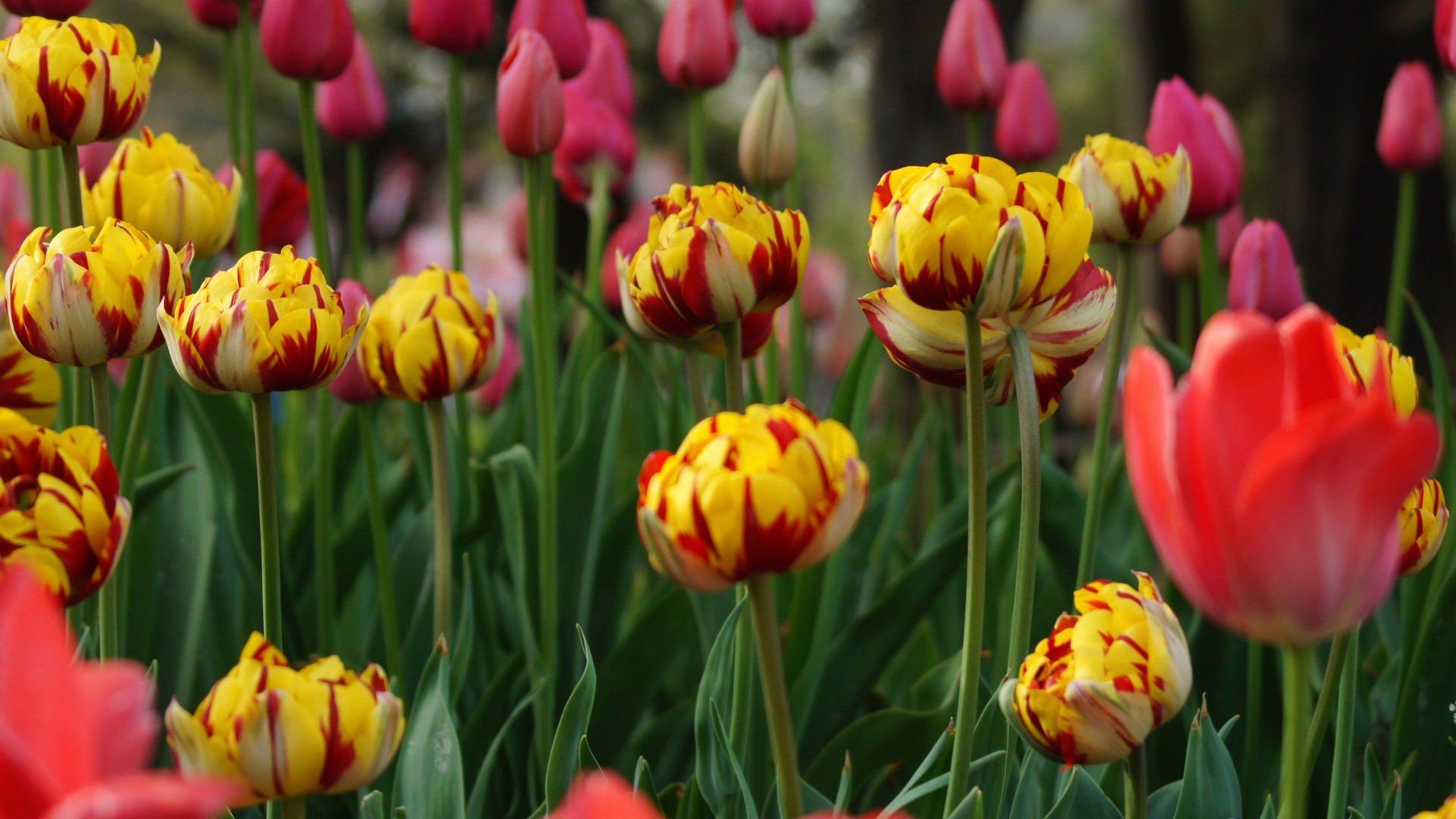 Fresh and colorful tulips flower HD wallpapers #7 - 1920x1080