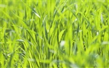 Green Grass wallpaper (2) #2