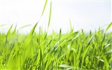 Green Grass wallpaper (2) #6