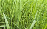 Green Grass wallpaper (2) #11
