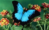 Butterfly Photo Wallpaper (2) #5