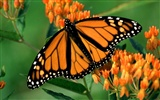 Butterfly Photo Wallpaper (2) #8