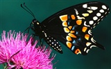 Butterfly Photo Wallpaper (2) #16