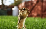 Cute wallpaper chipmunk