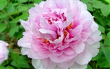 Queen Peony Flower Wallpapers