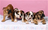 Puppy Photo HD wallpapers (1) #4