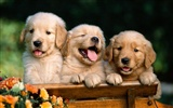 Puppy Photo HD Wallpaper (1)