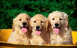 Puppy Photo HD wallpapers (1) #10