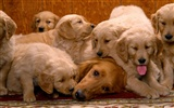Puppy Photo HD wallpapers (1) #18