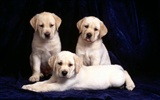 Puppy Photo HD wallpapers (1) #20