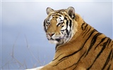 Tiger Photo Wallpaper (4)