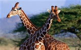 Giraffe wallpaper albums