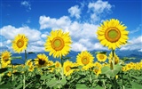Ciel bleu de tournesol Widescreen Wallpaper