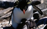 Fond d'écran Photo Penguin #27