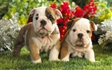 Puppy Photo HD wallpapers (9)