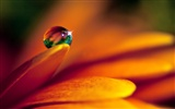 HD wallpaper flowers and drops of water