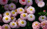 Daisies flowers close-up HD wallpapers #15