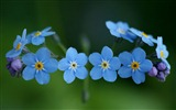 Small and beautiful forget-me-flowers HD wallpaper