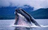 Windows 8 Wallpapers: Arctic, the nature ecological landscape, arctic animals #4