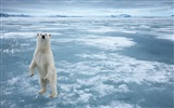 Windows 8 Wallpapers: Arctic, the nature ecological landscape, arctic animals #6