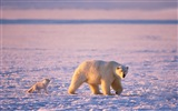 Windows 8 Wallpapers: Arctic, the nature ecological landscape, arctic animals #10