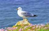 Sea bird seagull HD wallpapers #1