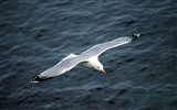 Sea bird seagull HD wallpapers #2