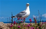 Sea bird seagull HD wallpapers #11