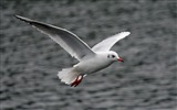 Sea bird seagull HD wallpapers #20