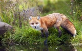 Animal close-up, cute fox HD wallpapers