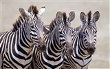 Black and white striped animal, zebra HD wallpapers #1
