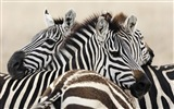 Black and white striped animal, zebra HD wallpapers #2