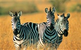Black and white striped animal, zebra HD wallpapers #3