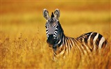 Black and white striped animal, zebra HD wallpapers #4