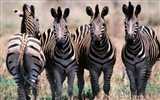 Black and white striped animal, zebra HD wallpapers #5
