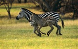 Black and white striped animal, zebra HD wallpapers #6