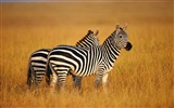 Black and white striped animal, zebra HD wallpapers #7