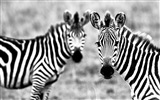 Black and white striped animal, zebra HD wallpapers #8