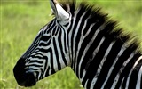 Black and white striped animal, zebra HD wallpapers #9