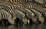 Black and white striped animal, zebra HD wallpapers #11