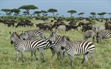 Black and white striped animal, zebra HD wallpapers #12