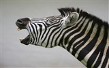 Black and white striped animal, zebra HD wallpapers #14