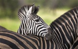 Black and white striped animal, zebra HD wallpapers #16