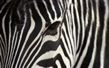 Black and white striped animal, zebra HD wallpapers #17